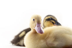 American Pekin Duckling. And  in studio shot photo. This yellow duckling is domesticated for egg production Stock Images