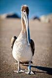 American pelican Stock Images