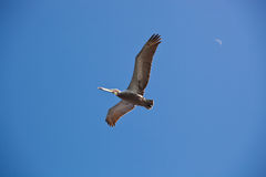 American Pelican. Flying in the clear blue sky with new moon Stock Image