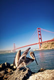 American pelican with Golden Gate bridge behind Royalty Free Stock Image