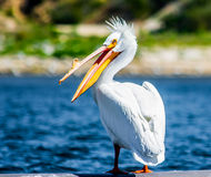 American Pelican. Hanging out on lake Poway stock images