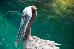 American pelican rests on post in Florida Stock Photo