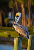 American pelican sits on pylon at sunset Royalty Free Stock Image