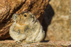 American Pika Royalty Free Stock Photography
