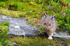 American Pika with grass in its mouth. Rocky Mountains. Banff National Park. Alberta. Canada Stock Photos