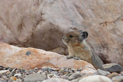 American Pika - Jasper National Park Royalty Free Stock Photo