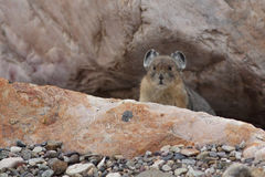 American Pika - Jasper National Park. American Pika (Ochotona princeps) - peering out from its rock burrow - Jasper National Park, Canada Stock Image