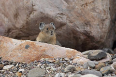 American Pika - Jasper National Park stock photography