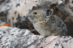 American Pika. (Ochotona princeps) on a granite rock - Jasper National Park, Alberta Royalty Free Stock Photography