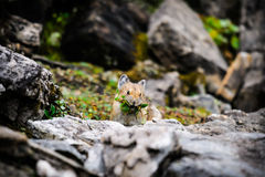 American Pika (Ochotona princeps). Wild Pika feeding on grass in a talus field, Kananaskis Country Alberta Canada Royalty Free Stock Image