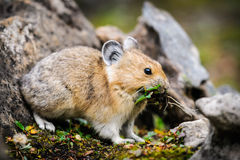 American Pika (Ochotona princeps). Wild Pika feeding on grass in a talus field, Kananaskis Country Alberta Canada Royalty Free Stock Photography