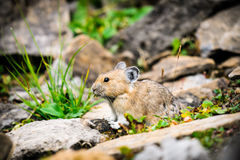American Pika (Ochotona princeps). Wild Pika feeding on grass in a talus field, Kananaskis Country Alberta Canada Royalty Free Stock Photo