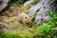 American Pika (Ochotona princeps). Wild Pika feeding on grass in a talus field, Kananaskis Country Alberta Canada Royalty Free Stock Images