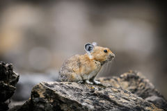 American Pika (Ochotona princeps). Wild Pika feeding on grass in a talus field, Kananaskis Country Alberta Canada Stock Photography