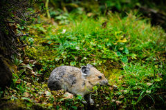 American Pika (Ochotona princeps). Wild Pika feeding on grass in a talus field, Kananaskis Country Alberta Canada Royalty Free Stock Photos