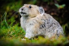 American Pika (Ochotona princeps). Wild Pika feeding on grass in a talus field, Kananaskis Country Alberta Canada Stock Photo