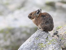 American Pika Profile Stock Photography