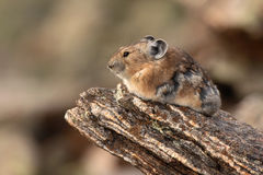 American Pika Resting On Rock. An American Pika, a member of the rabbit family, resting on a rock in the Rocky Mountains of Colorado Royalty Free Stock Photo