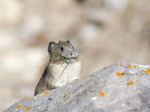 American pika on rock with grass in mouth in Canada Stock Photos