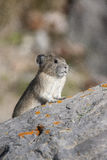 American pika on rock with tan and green background in Canada Royalty Free Stock Photos