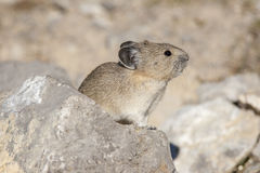 American pika on rock with tan and green background in Canada Stock Photo