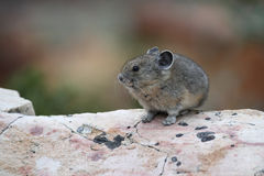 American Pika Sitting on a Granite Rock. American Pika (Ochotono princeps) Sitting on a Granite Rock - Jasper National Park, Canada Royalty Free Stock Photos