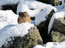 American Pika in the Snow Royalty Free Stock Photos