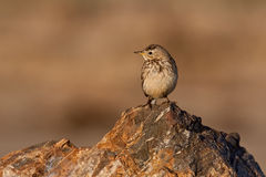American Pipet (Anthus rubescens). American pipet, or buff-bellied pipet,  standing on a rock Royalty Free Stock Photography