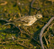 American Pipit. An American Pipit (Anthus rubescens) forages on the floor of the swamp at Brazos Bend State Park, Needville, Texas.  Needville is located Stock Photos