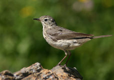 American Pipit. An American (Buff-bellied) Pipit on alpine breeding territory Stock Image
