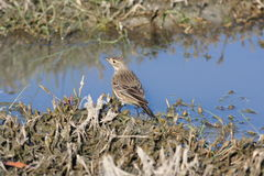 American Pipit (Anthus rubescens) Royalty Free Stock Photos