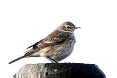 American Pipit (Anthus rubescens) Stock Photo