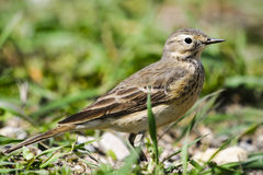 American Pipit (Anthus rubescens) Royalty Free Stock Photo