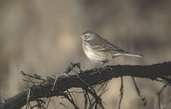 American pipit, Anthus rubescens Royalty Free Stock Images