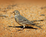 American Pipit Bird Stock Images