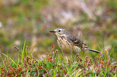 American Pipit, Newfoundland, Canada Royalty Free Stock Photos