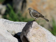 American Pipit on a Rock Royalty Free Stock Photography