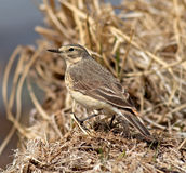 American Pipit royalty free stock photos