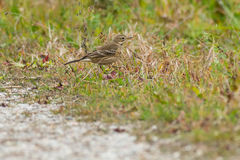 American Pipit Royalty Free Stock Photo