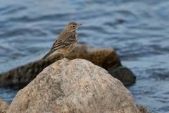 American Pipit Royalty Free Stock Photography