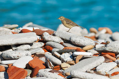 American Pipit Royalty Free Stock Images