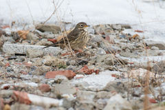 American Pipit Stock Image