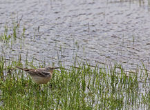 American Pipit in wetland Royalty Free Stock Photo