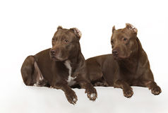 American Pit Bull. Posing for the camera Royalty Free Stock Image