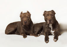 American Pit Bull Royalty Free Stock Photo