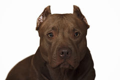 American Pit Bull. Posing for the camera Stock Photos