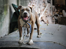 American Pit Bull Terrier. Guard Dog Stock Photos