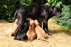 American Pit Bull Terrier as dog mother Stock Images