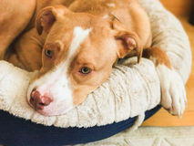 American pit bull terrier, beige color Stock Images