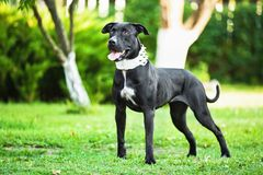 American Pit Bull Royalty Free Stock Photos